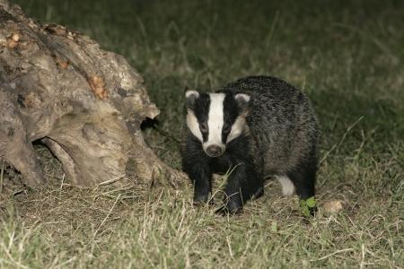 Badger,  Meles meles, single mammal on floor, UK Stock Photo
