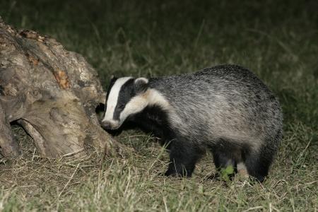 nocturnal: Badger,  Meles meles, single mammal on floor, UK Stock Photo