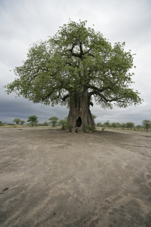 Baobab tree, Adansonia digitata, on grassland in Tanzania Stock Photo