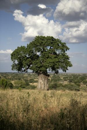 digitata: Baobab tree, Adansonia digitata, on grassland in Tanzania Stock Photo