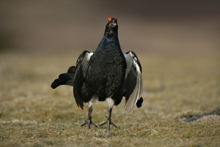 black moor: Black grouse, Tetrao tetrix, single male at lek doing his fluuter jump and calling,  Scotland Stock Photo