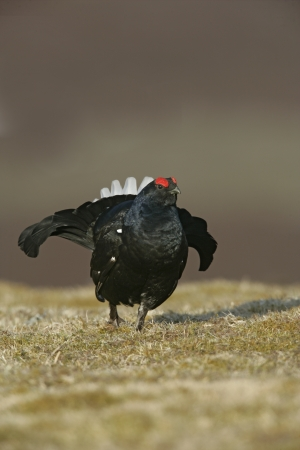 black moor: Black grouse, Tetrao tetrix, single male at lek, Scotland