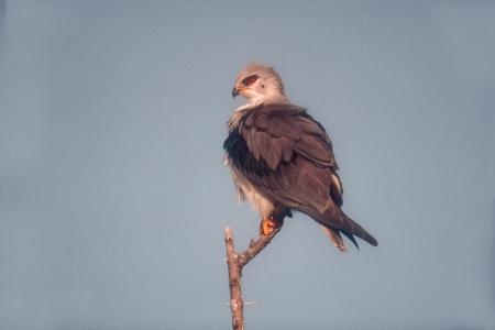 shouldered: Black-shouldered kite, Elanus axillaris, single bird on branch, Tanzania      Stock Photo