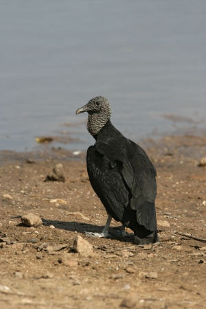 Black vulture, Coragyps atratus, single bird by water, Brazil Stock Photo - 23683555