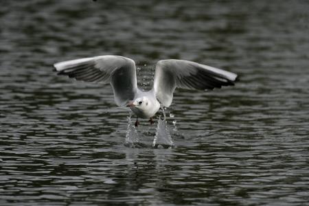 larus ridibundus: Black-headed gull, Larus ridibundus, single bird in flight, West Midlands, winter