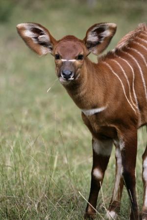 zoogdier: Bongo, Tragelaphus eurycerus, enkele jonge zoogdier Stockfoto