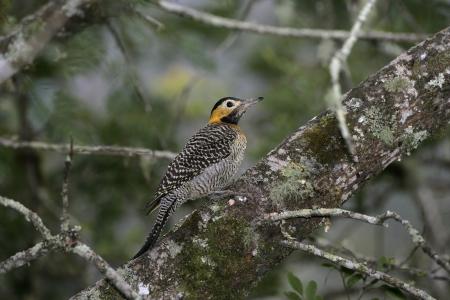 tremolare: Campo sfarfallio, Colaptes campestris, singolo uccello sul ramo, Brasile
