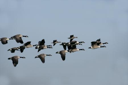 Canadese gans, Branta canadensis, zwerm vogels in de vlucht