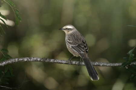 ruiseñor: Chalk ceja sinsonte, Mimus saturninus, solo pájaro en la rama, Brasil