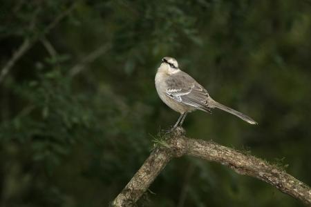mockingbird: Chalk-browed mockingbird, Mimus saturninus, single bird on branch, Brazil