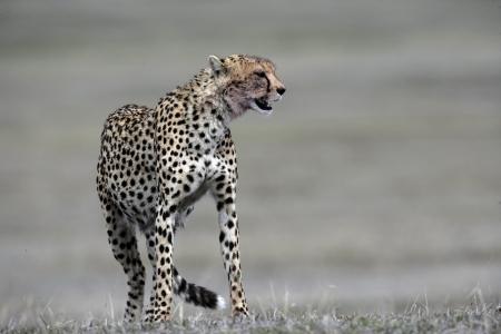 acinonyx: Cheetah, Acinonyx jubatus, single mammal on grass, Tanzania Stock Photo