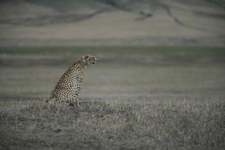 jubatus: Cheetah, Acinonyx jubatus, single mammal on grass, Tanzania Stock Photo