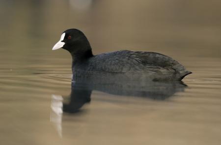 coot: Coot, Fulica atra, single bird on water, Gloucestershire UK  Stock Photo