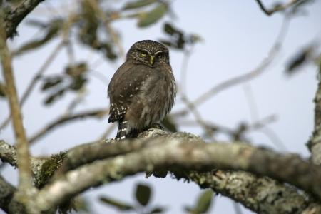 ferruginous: Ferruginous pygmy-owl, Glaucidium brasilianum, single bird on branch, Brazil Stock Photo