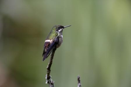 coquette: Festive coquette, Lophornis chalybeus, single bird on branch, Brazil