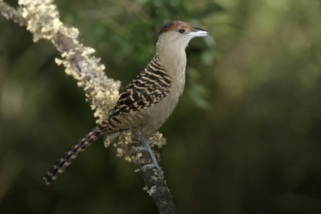 cinerea: Giant antshrike,  Batara cinerea, single bird on branch, Brazil