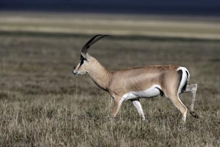 grants: Grants gazelle, Gazella granti, single mammal on grass, Tanzania