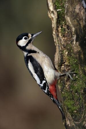 dendrocopos: Great-spotted woodpecker, Dendrocopos major, single bird on tree, Midlands