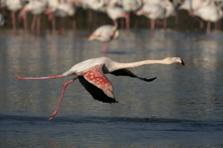 Greater flamingo, Phoenicopterus ruber, single bird in flight, France photo