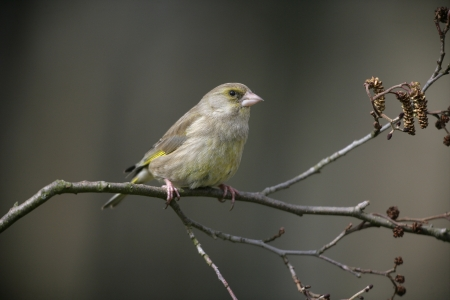 greenfinch: Greenfinch, Carduelis chloris, single bird on branch, West Midlands, winter
