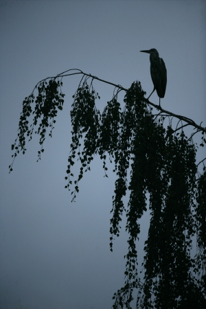 ardea cinerea: Grey heron, Ardea cinerea, single bird on branch,