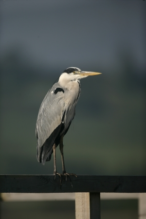 ardea cinerea: Grey heron, Ardea cinerea, single bird by Llangorse lake, Wales Stock Photo