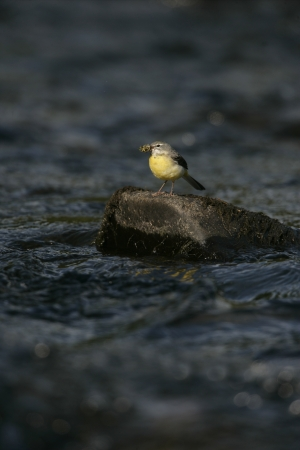 motacilla: Grey wagtail, Motacilla cinerea, single female on rock, Wales