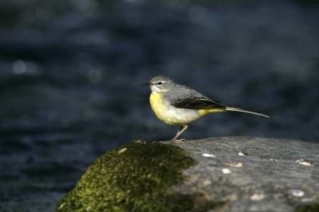 wagtail: Grey wagtail, Motacilla cinerea, single female on rock, Wales