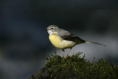 cinerea: Grey wagtail, Motacilla cinerea, single female on rock, Wales