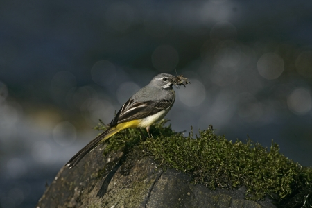 motacilla: Grey wagtail, Motacilla cinerea, single male on rock, Wales Stock Photo