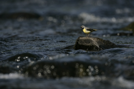 motacilla: Lavandera gris, Motacilla cinerea, solo macho sobre roca, Gales