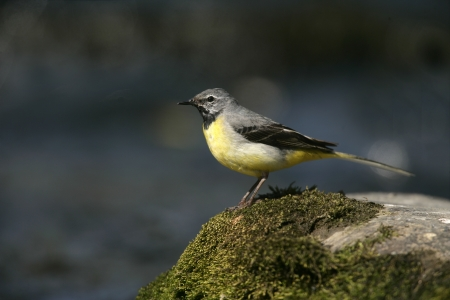 wagtail: Grey wagtail, Motacilla cinerea, single male on rock, Wales Stock Photo