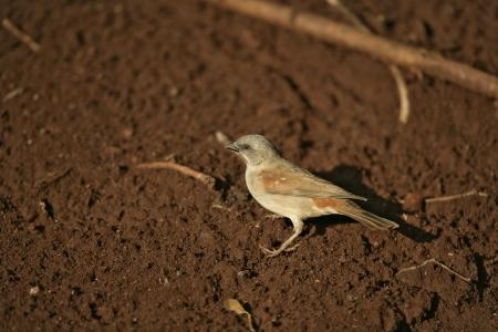 passer by: Grey-headed sparrow, Passer griseus, single bird on floor, Tanzania Stock Photo