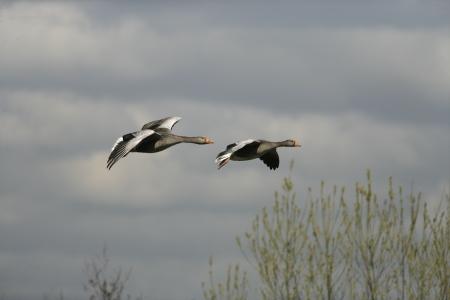 anser: Greylag goose, Anser anser, two birds in flight, Gloucestershire, UK