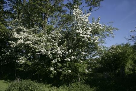 crata�gus: Hawthorn, Crataegus monogyna, arbusto cubierto de flores en la primavera