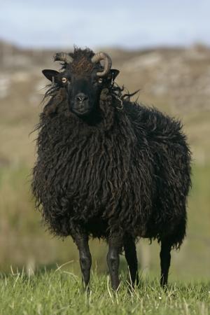 mouton noir: Mouton noir des H�brides, seul mouton sur Coll, H�brides, en �cosse