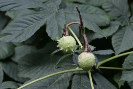 aesculus hippocastanum: Horse chestnut,  Aesculus hippocastanum, nuts growing on tree, Cumbria UK