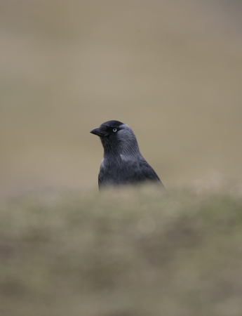 Jackdaw,  Corvus monedula, single bird on grass, UK photo