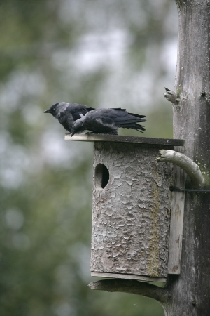 Jackdaw,  Corvus monedula, two birds at nest box,  photo