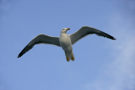 Lesser black-backed gull, Larus fuscus, single bird in flight, Finland photo