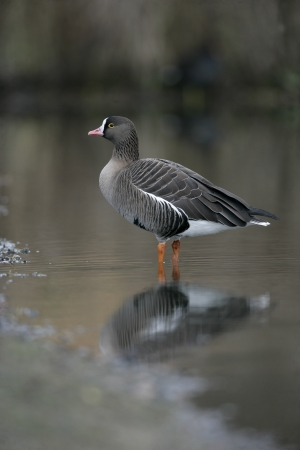 white fronted goose: Lesser white-fronted goose, Anser erythropus, single bird in water, captive