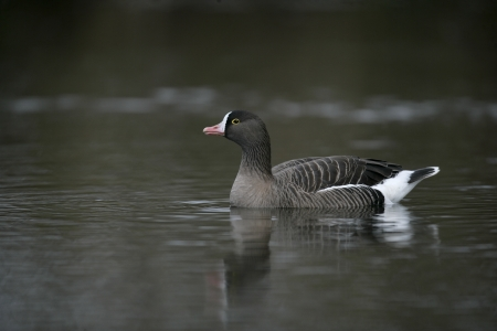 Lesser white-fronted goose, Anser erythropus, single bird in water, captive        photo