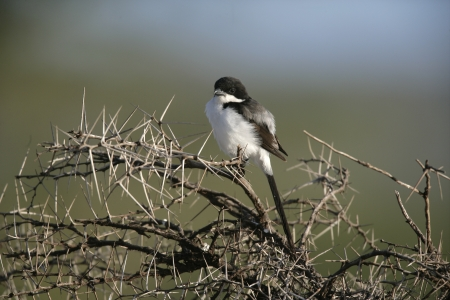 fiscal: Long-tailed fiscal shrike, Lanius cabanisi, single bird on branch, Tanzania
