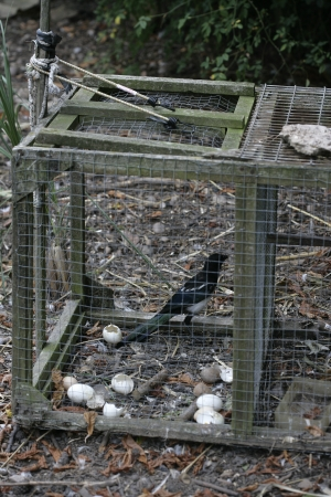 pica: Magpie,  Pica pica, Bird in trap set by gamekeeper, Summer, Midlands, UK