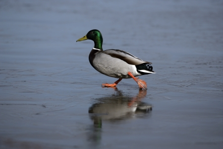 anas platyrhynchos: Mallard, Anas platyrhynchos, single male on ice, Midlands