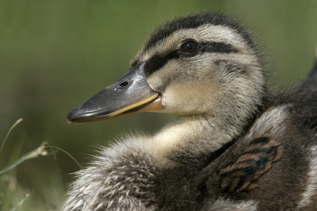 anas platyrhynchos: Mallard, Anas platyrhynchos, single duckling on grass, Midlands