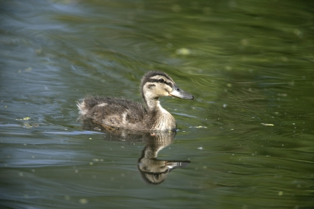 anas platyrhynchos: Mallard, Anas platyrhynchos, single duckling on water, Midlands Stock Photo
