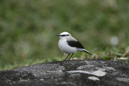 tyrant: Masked water-tyrant,  Fluvicola nengeta, single bird on grass, Brazil