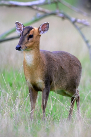 introduced: Muntjac,  Muntiacus reevesi, single mammal on grass, Midlands