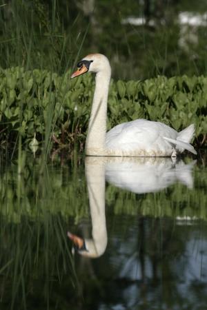 cygnus olor: Mute swan ,Cygnus olor, single bird on water, Wales